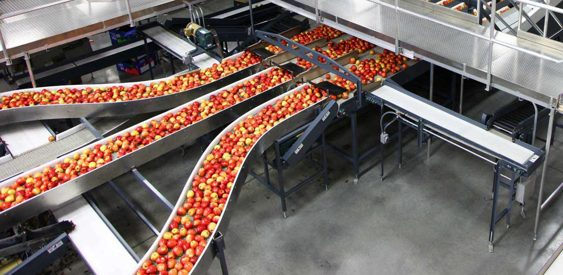 Apples on conveyor belts in a factory